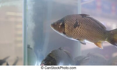 live carps in the fish department aquarium at the grocery ...