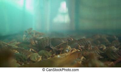 Live crayfish crawling along the aquarium, shot close-up
