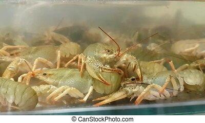 Live crayfish in aquarium. Crawfish in water - Live crayfish...