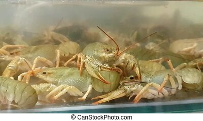 Live crayfish in aquarium. Crawfish in water - Live crayfish...