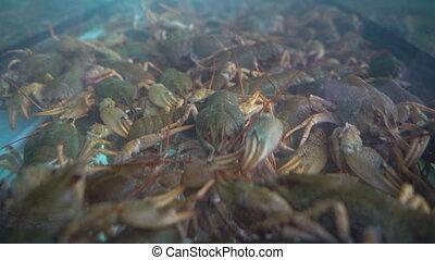 Live crayfish in the aquarium, shot close-up