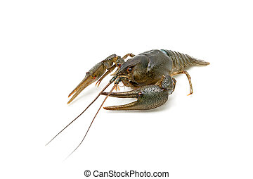 Live crayfish isolated on white background close-up.