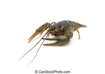 Live crayfish isolated on white background close-up.