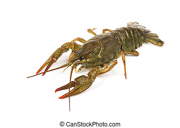 Live crayfish isolated on white background