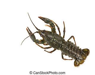 Live crayfish isolated on white background