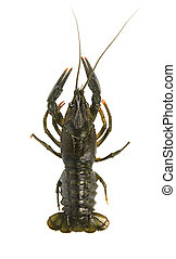 Live crayfish isolated on white background. Top view.