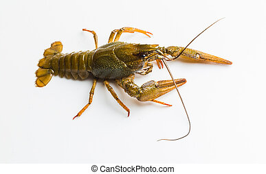 Live crayfish - The live crayfish on a white background