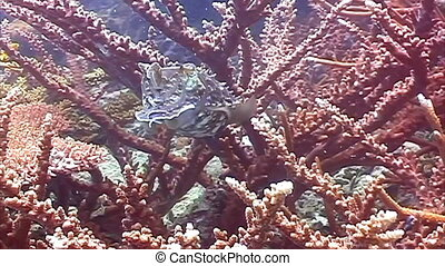 Live cuttlefish in the ocean.