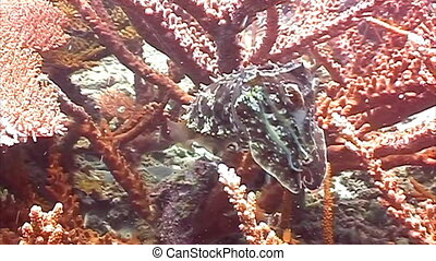 Live cuttlefish in the ocean