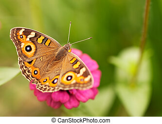 Live insect Australian butterfly Meadow argus Junonia...