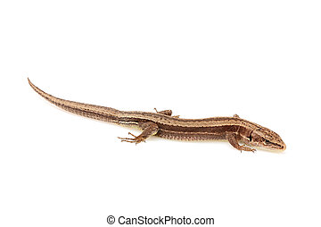 Live lizard ( Lacertilia ) Lacerta agilis horizontalyl...