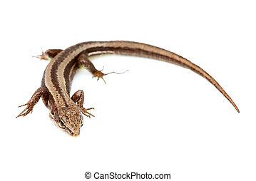 Live lizard ( Lacertilia)Lacerta agilis isolated. - Live...