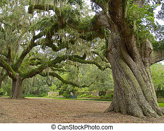 A giant live oak tree on a former plantation now called Brookgreen Gardens near Myrtle Beach in South Carolina.