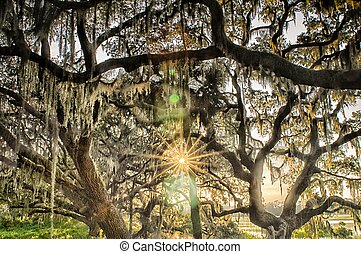 Live Oak Tree with Quercus virginiana and Spanish Moss at...