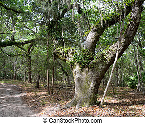 Live oak trees at a national estuarine reserve at Florida, USA.