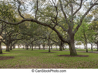Live Oak Trees Stand at Attention in White Point Garden