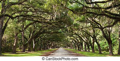 Live Oaks - Live oak trees beside a road.