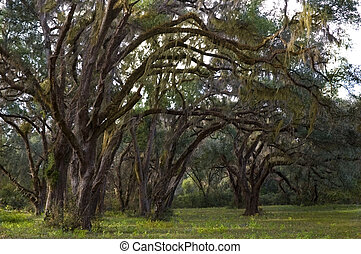 Live Oaks and Spanish Moss in a rural setting.