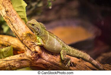 reptiles - live wild reptiles lizards shot close-up in...