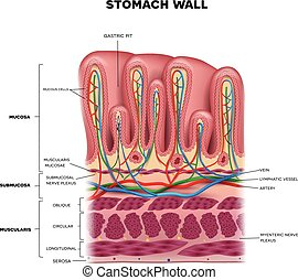 livelli, dettagliato, stomaco, colorito, anatomia, parete, ...