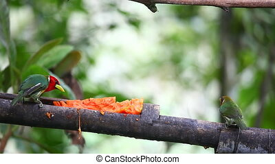 Lively Pair of Red-headed Barbet, Eubucco bourcierii, at a...