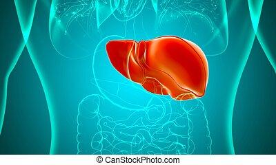 Liver 3D Illustration Human Digestive System Anatomy