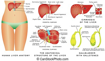 Liver and Gallbladder