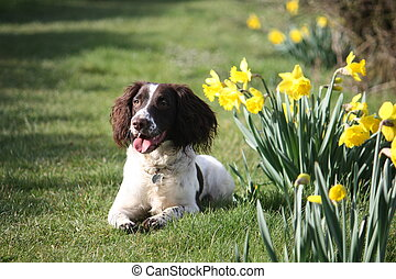 liver and white working type english springer spaniel pet gundog posing with daffodils