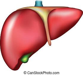 Liver. Detailed illustration of human internal organ- liver....