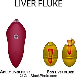 Liver fluke. Hepatic fluke. The egg trematode. Set. Infographics. Vector illustration on isolated background