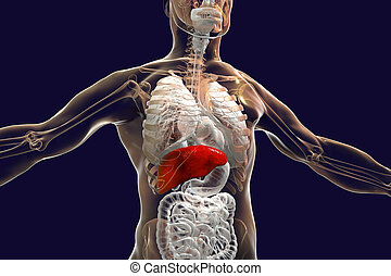 Liver highlighted inside human body