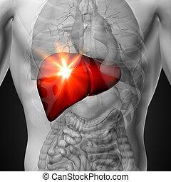 Liver - Male anatomy of human organ