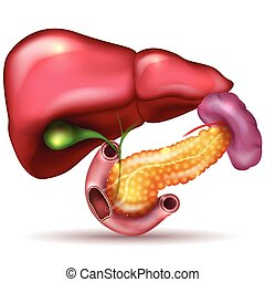 Liver, pancreas, gallbladder and spleen detailed drawing on a white background
