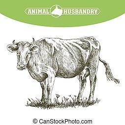 livestock., スケッチ, 牛, 手。, 動物, 引かれる, cattle., 牧草
