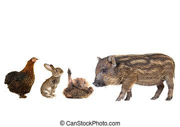 livestock;