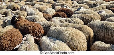 sheep - Livestock farm, herd of sheep