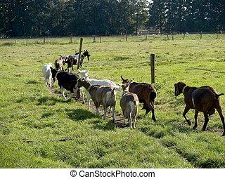 Livestock, goat. - Goats walking in the meadow.