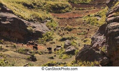 Livestock Grazing At A Remote Village, Andes, Peru -...