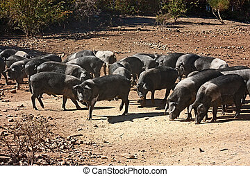 italian breed of pigs - livestock of cinta senese, typical...