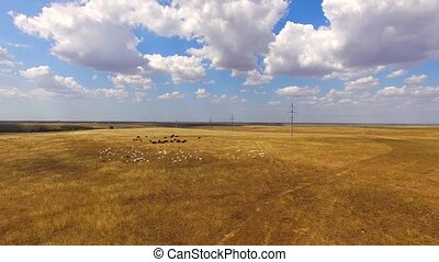 Livestock Of Cows And Goats Grazing At Golden Field