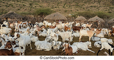 livestock of maasai tribe in africa - stock photo