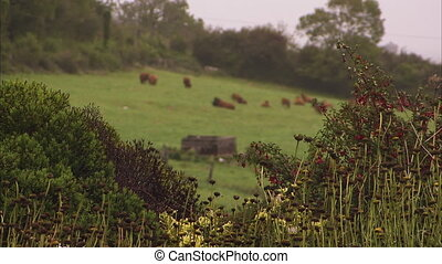 Livestock on a green field - A blur to focus shot of a...