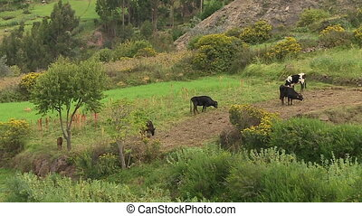 Livestock On A Village Farm, Andes, Peru - Medium low-angle...