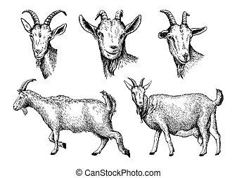 livestock., schizzo, mano., goat, animale, disegnato, pascolo