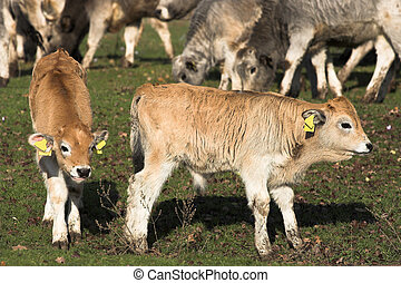 livestock -  Two  calf  grazed on a meadow
