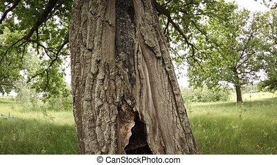 Living Oak Tree Hollowed by a Lightning Strike