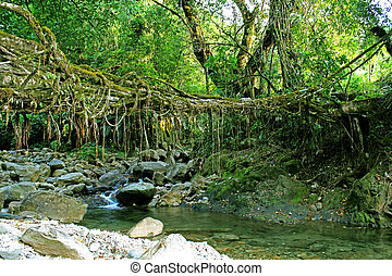 Living roots bridge: Living roots heritage village, Nongblai...