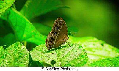 """Living Specimen of White Line Bushbrown Butterfly - """"Living..."""