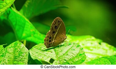 Living specimen of White Line Bushbrown, a common specie of butterfly in Asia, with its distictive brown color and underwing eye spots. Video UltraHD