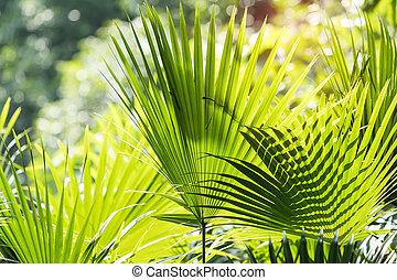 Livistona Rotundifolia palm, Borassus flabellifer.